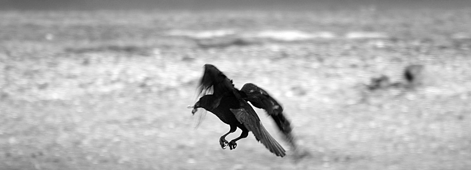 A raven on a beach
